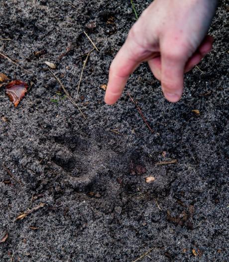 5 tips: zo herken je wolvensporen op de Veluwe