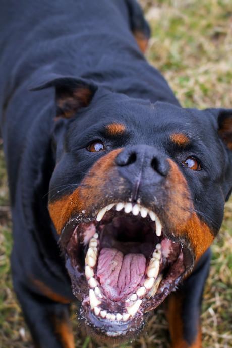 Mag hond die in Nieuwegein drie kinderen beet, blijven leven?