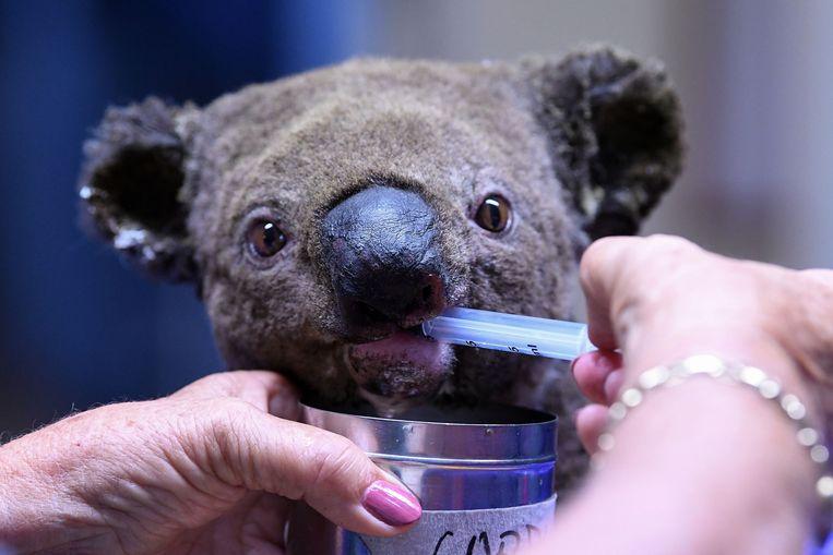 Een  gewonde en uitgedroogde koala wordt verzorgd in het koalaziekenhuis. Beeld AFP