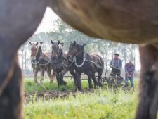 Trekpaarden demonstreren boerenambacht in 's-Gravenpolder