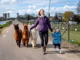 Iedereen houdt van de aaibare alpaca's Ted, Joop en Guus