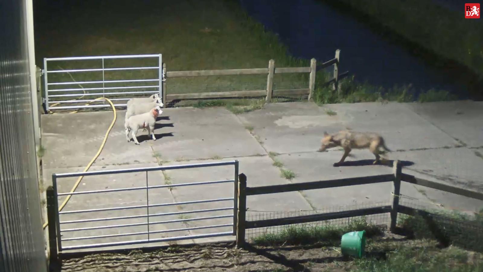 Op beelden van een beveiligingscamera was te zien hoe een wolf afgelopen week schapen aanviel in Vlijmen.