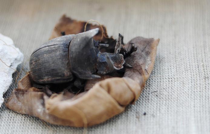 Een van de gemummificeerde mestkevers uit de tombe van Khufu-Imhat.