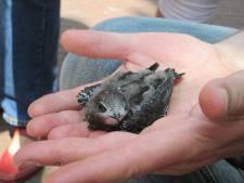 Hitte zorgt voor drukte bij Vogelrevalidatiecentrum Zundert