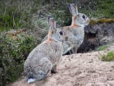 Het krioelt van de konijnen in het Schelfhorstpark, Almelo vangt ze met fretten en netten