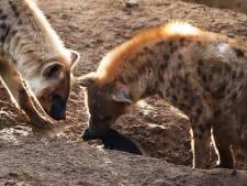 Naam en geslacht hyena-pup Beekse Bergen bekend