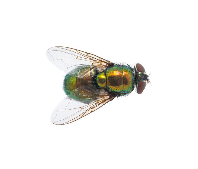 Green fly isolated on white insecten tellen Beeld