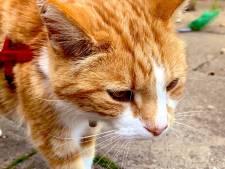 Mispoes! Raadslid vreest boete voor uitlaten van hoogbejaarde kat: 'Tommie raakt in z'n uppie de weg kwijt'