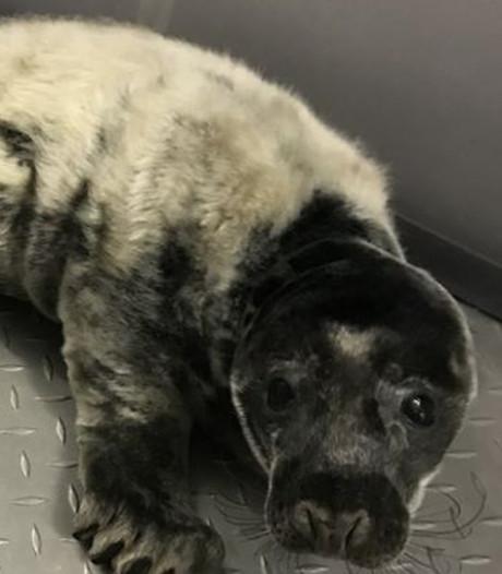 Zeldzaam zeehondje 'Black panther' is opgeknapt en mag terug de zee in