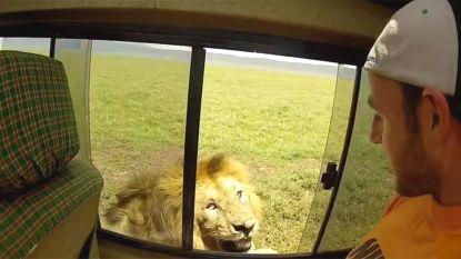 Geschifte toerist aait leeuw op safari: het dier reageert woest