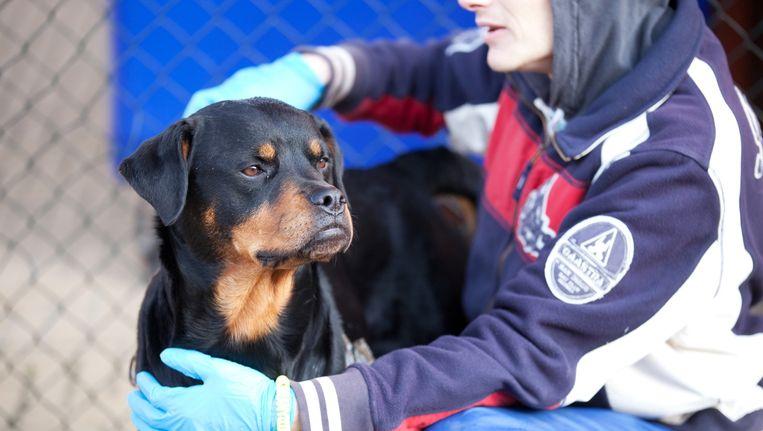 Eén van de Cell Dogs met zijn tijdelijke trainer: 'Als ik hem met zes weken langer zitten kan redden van de spuit, doe ik dat.' Beeld Wenda Oudtshoorn