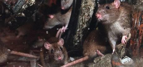 Tilburg pakt rattenoverlast aan