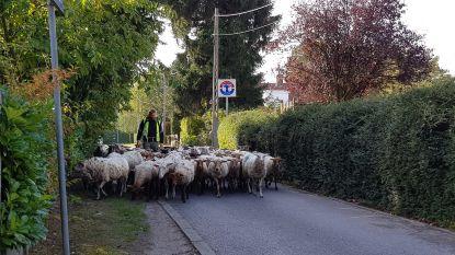 VIDEO. Opmerkelijk zicht: herder fietst met kudde doorheen dorpscentrum