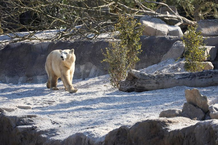 De ijsberen in Pairi Daiza kregen een nieuwe – gigantische – thuis.