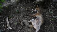 Onverlaat hangt vos op in natuurgebied Kesterheide
