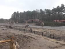 Giraffen en zebra's kuieren al door het nieuwe Safari Resort