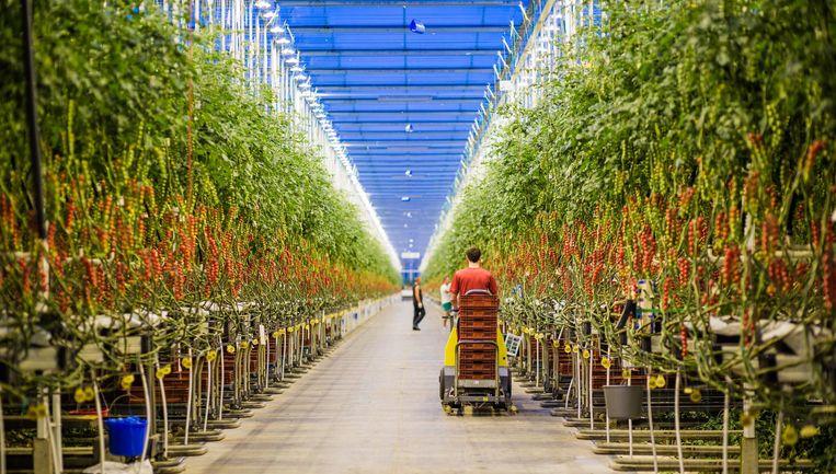 Een man aan het werk in de Kassen van Looije in Burgerveen waar tomaten worden verbouwd. Beeld Freek van den Bergh