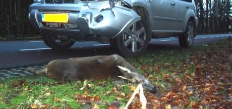 Veel wild aangereden: boswachters vragen om rustiger te rijden