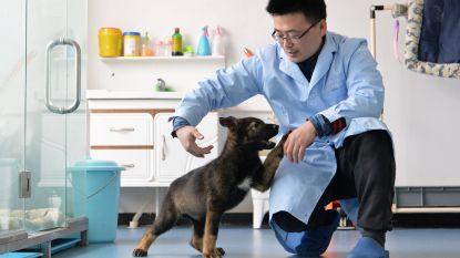 Chinese wetenschappers klonen voor het eerst een politiehond