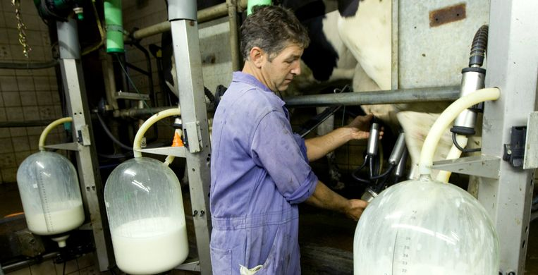 Meer koeien melken geeft meer fijnstof. Beeld null