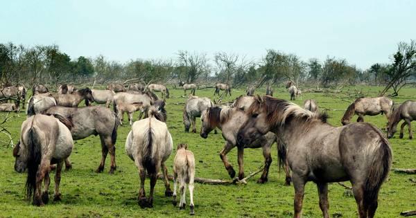 Texelse Konikpaarden uit het Oostvaardersveld naar de slacht