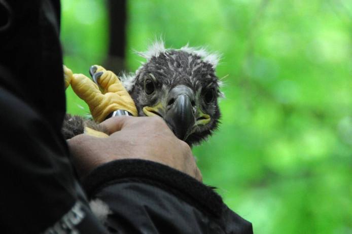 De jonge zeearend is geringd en wel klaar om weer in het nest te worden geplaatst.