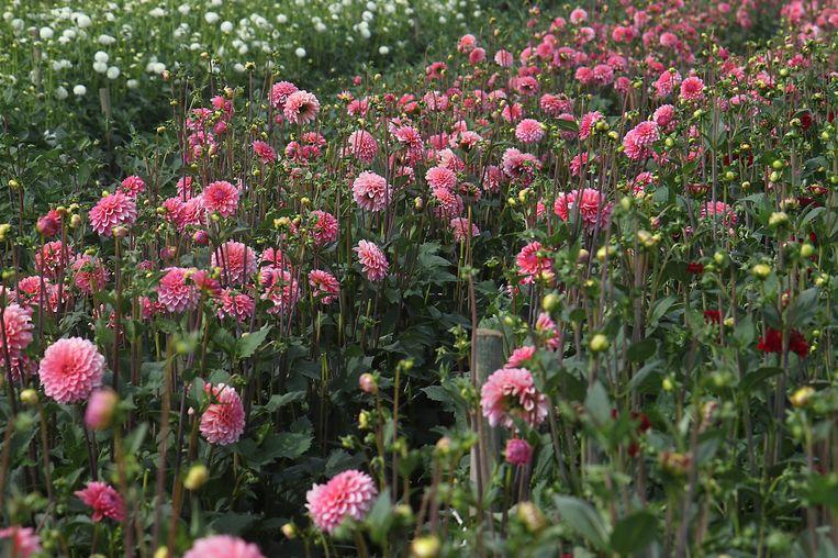 Een zee van bloemen in alle kleuren. Het verschil met het verdorde veld van vorig jaar kan niet groter zijn.