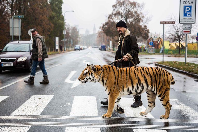 Circusartiest Jaromir Joo wandelde vier jaar geleden in Tsjechië een rondje met zijn tijger Tajga. Beeld Photo News