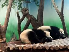 Chinezen woedend over 'mishandeling' jonge panda's
