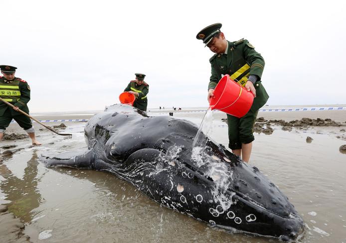 Een aangespoelde bultrugwalvis wordt in leven gehouden door Chinese politieagenten op het strand van Qidong. Foto AFP