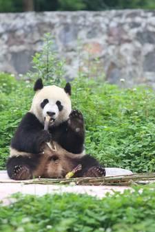Pandagala Rhenen levert ruim 470.000 euro op