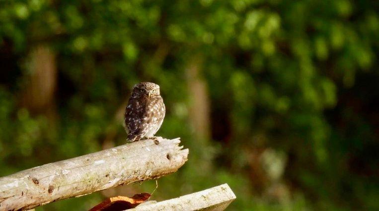 Een steenuil in Vroege Vogels TV. Beeld BNNVARA