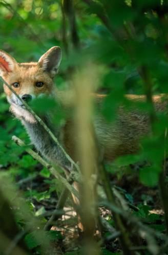 """Loslopend wild voor wildcamera blijkt… vrijend koppeltje: """"Al tweede avontuurlijke stel sinds lockdown"""""""