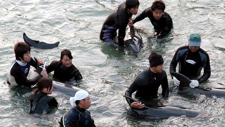 Vissers houden dolfijnen in bedwang in de baai bij Taiji op een foto uit 2007. Beeld epa