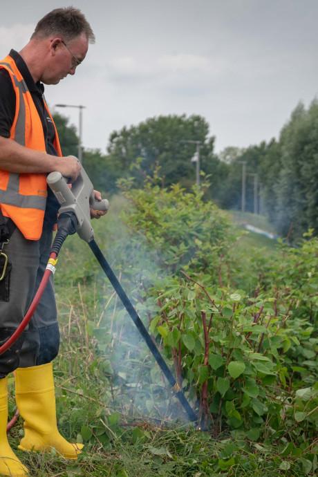 5.000 volt jakkert door de wortels van de woekerende duizendknoop in Arnhem