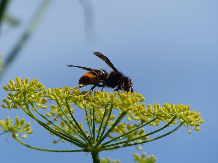 De Aziatische hoornaar (Vespa velutina) is te herkennen aan een zwart lijf met een brede oranje band op het achterlijf en een smalle gele band op het eerste segment van het achterlijf. De kop is oranje en de poten geel.
