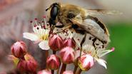Mijt verspreidt virus dat miljoenen bijen doodt