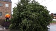 Ossenweg krijgt nieuwe lindeboom
