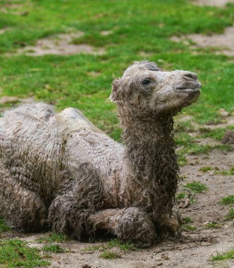 Mag je weer naar de dierentuin, wordt voor je neus dit kameeltje geboren