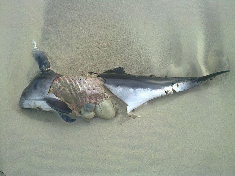 Een aangespoelde bruinvis. Beeld @Johan Krol