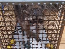 Wasbeer sluipt via kattenluik woning in Drenthe binnen en eet al het kattenvoer op