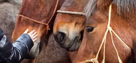 Vanuit Hedel eerst naar Brakel om paarden te kunnen exporteren