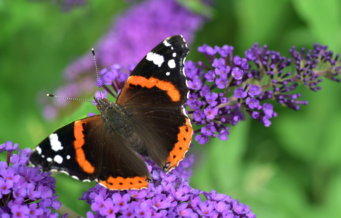 Afbeeldingsresultaat voor vlinder