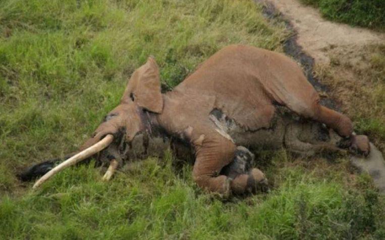 De slagtanden van Satao II wogen elk ruim 50 kilo. Wereldwijd zijn nog maar 25 zogenaamde 'tuskers' of reuzenolifanten, wier slagtanden bijna over de grond slepen, in leven.