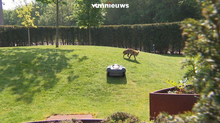 Vos speelt met grasmaaier in tuin van MEDIALAAN.