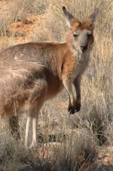 Politie rukt uit voor loslopende kangoeroe in Noord-Limburg