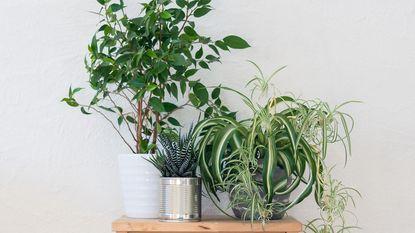 Zuivere lucht in huis: deze planten zijn de ideale luchtverfrisser