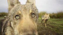 Wat is er schattiger dan beelden van wolvenwelpen? 3 spelende wolvenwelpen!