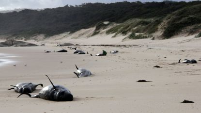 Dertigtal walvissen op Australisch strand aangespoeld en overleden
