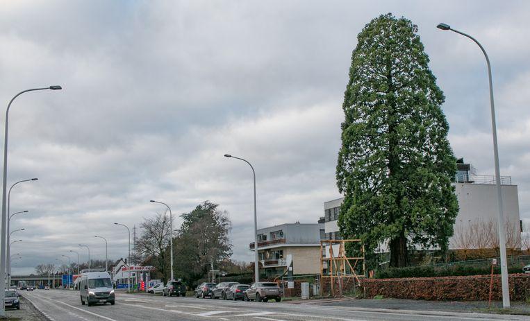De bedreigde sequoia aan de Gentse Baan (N70). Op minder dan een week tijd hebben bijna 450 inwoners de petitie 'Red de Sequoia' ondertekend.